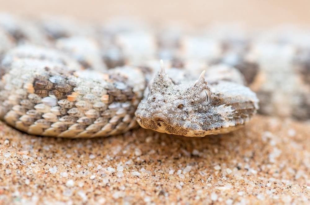 Our Eco Dune Tour (also known as the Living Desert Tour) focuses on the ecology of the dunes. This Horned Adder is one of several snake species that can be seen on this desert day tour.
