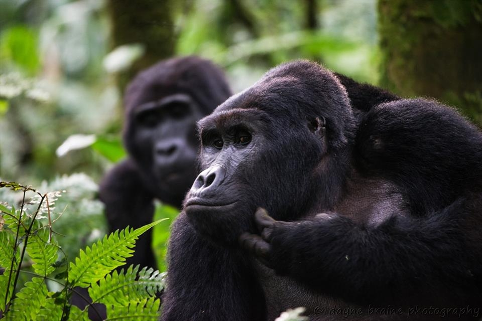 Gorilla trekking is one of the spectacular highlights on our Uganda birding and photography tours.