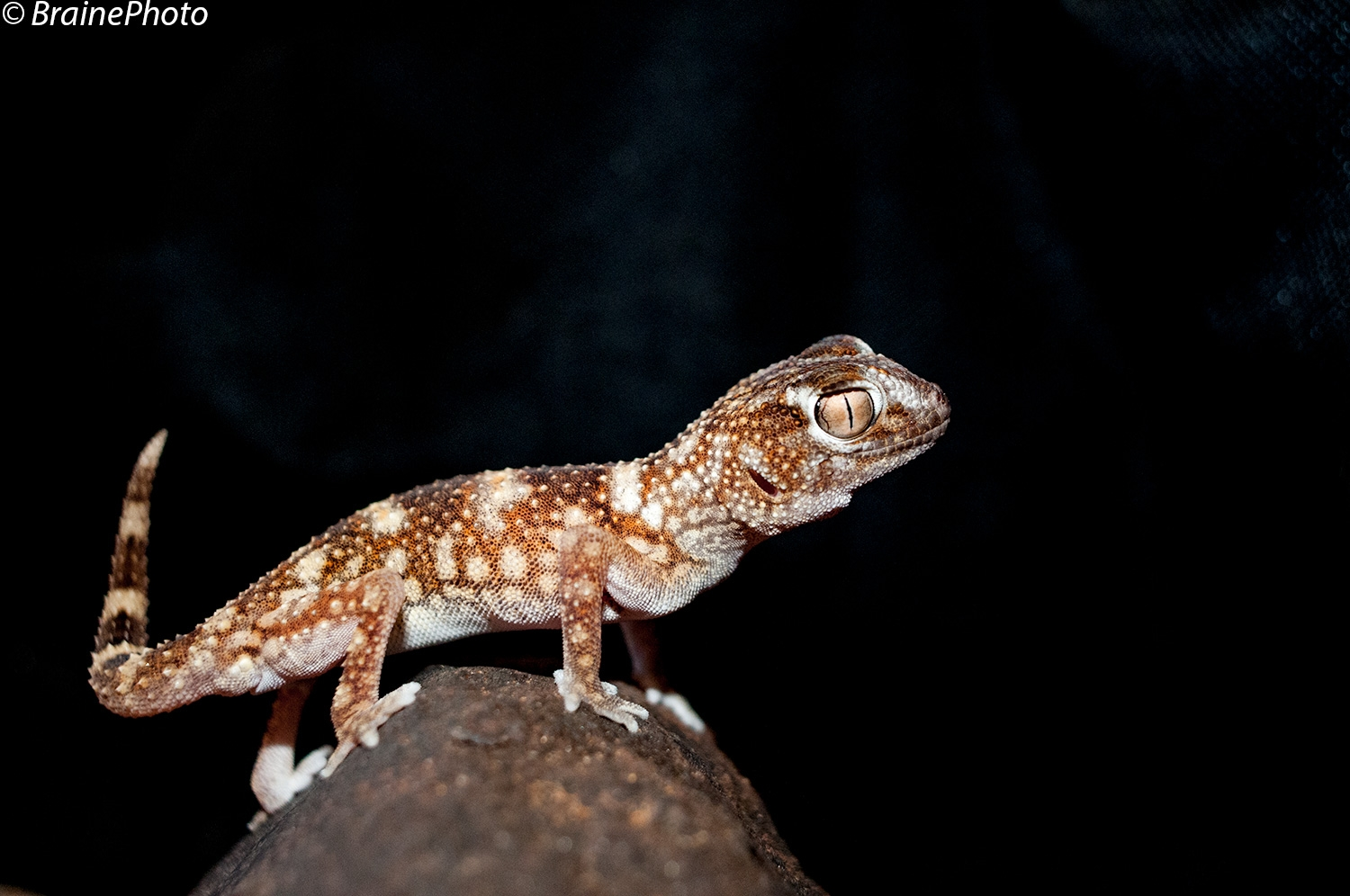 Our Desert Night Walks take you into the gravel plains on Swakopmund's outskirts. Exciting nocturnal animals that we find here include spiders, geckos, scorpions, snakes, gerbils and with great luck a Brown Hyena. This Giant Ground Gecko is a popular find.