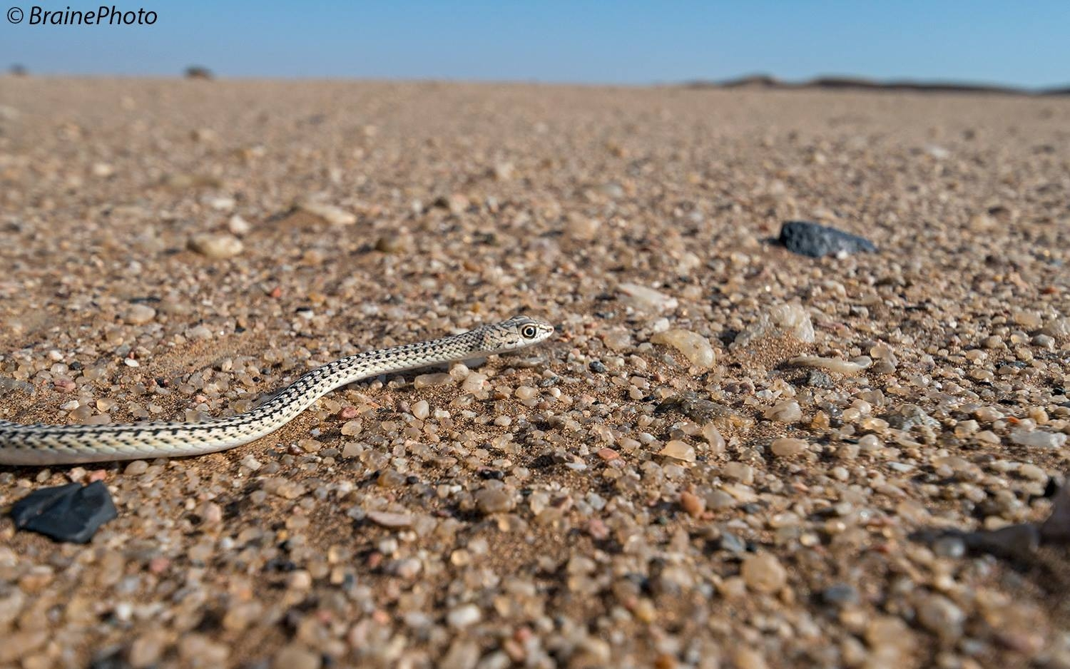 Our Rocky Desert Tour takes you to Namibia's grand Moonlandscape and the Swakop River Valley. The scenery and desert-adapted fauna and flora that occur here will make this an unforgettable experience. A perfect activity for botanists, photographers, birders, herpetologists and general naturalists. The Sand snake is one of the many highlights on this activity.