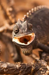 Our Eco Dune Tour (also known as the Living Desert Tour) focuses on the ecology of the dunes. The Namaqua Chameleon is one of the main targets on this tour.