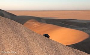 Our Eco Dune Tour (also known as the Living Desert Tour) focuses on the ecology of the dunes. The Fog-basking Beetle or Toktokkie is one of the main targets on this tour.