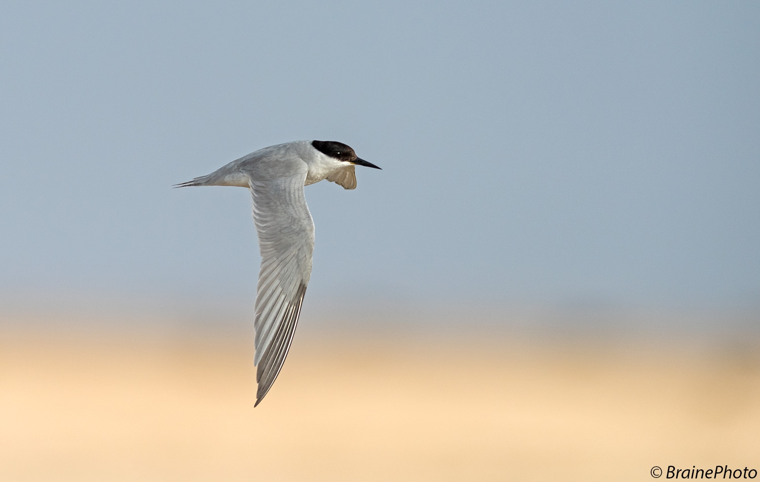 Our Namibia birding tours and desert birding day tours offer many desert specials, such as the Damara Tern which breeds on Namibia's gravel plains between September and April.