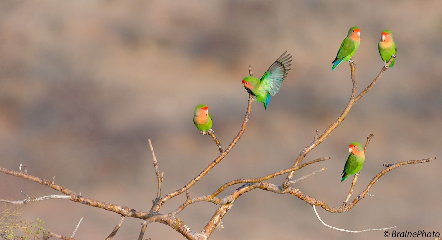 One of our desert day tours features the spectacular Spitzkoppe, a paradise for photographers, birders and herpetologists. The Rosy-faced Lovebird is one of the main targets on this tour.