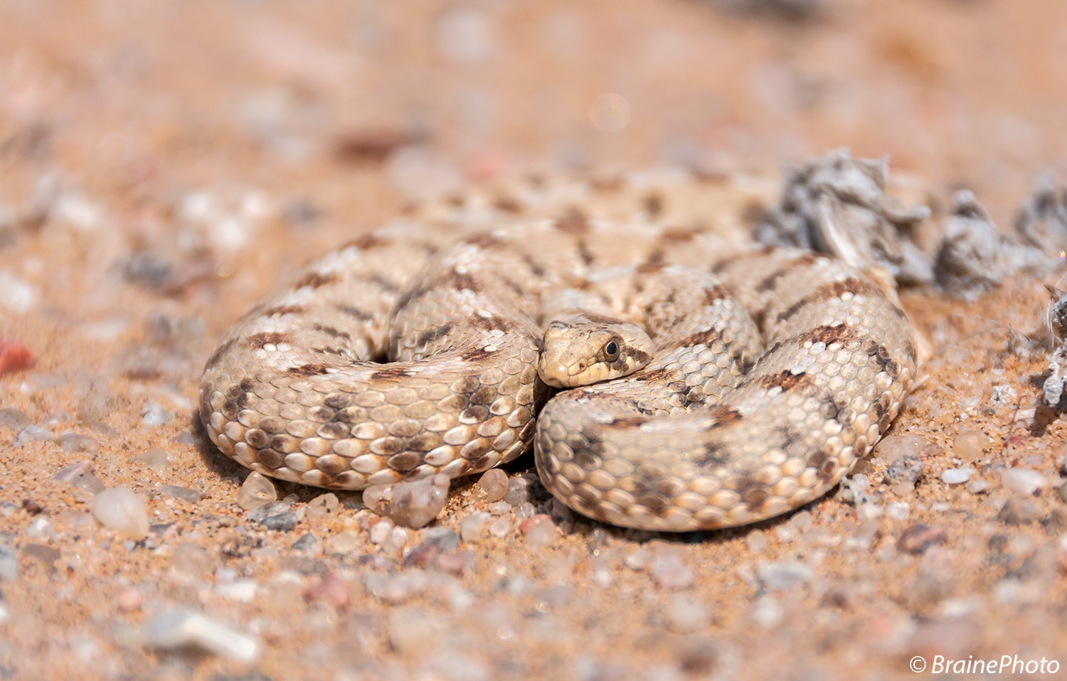 Our Eco Dune Tour (also known as the Living Desert Tour) focuses on the ecology of the dunes. This Dwarf Beaked snake is one of several snake species that can be seen on this desert day tour.