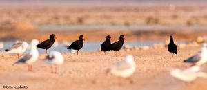 Our Namibia birding tours and desert birding day tours offer many bird species, such as the Black Oystercatcher.