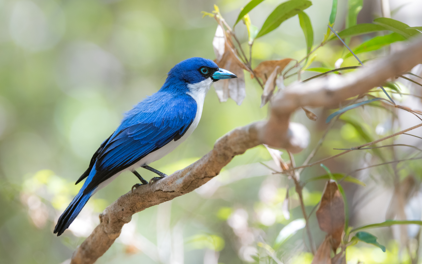 Our Madagascar birding, wildlife and photography tours offer the best experience for the all-round naturalist. We focus on all the natural wonders that this magnificent island has to offer from plants and fungi to reptiles and amphibians to mammals and birds. This Blue Vanga, photographed at Ankarafantsika National Park, is one of the many endemic bird species that occur on this magical island