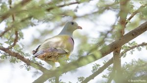Our Ethiopian birding and photography tours offer an unforgettable experience and a great opportunity to view Ethiopia's magical wildlife, such as the Bruce's Green Pigeon