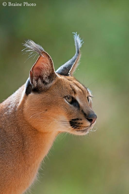 Our photography tours provide opportunities to photograph many exciting subjects including breath-taking sunsets and sunrises, contrasting and wonderful landscapes, Himba, San and Herero cultures, colonial architecture, ghost towns, other-worldly plants and extraordinary wildlife. This caracal was photographed in the Kalahari Desert