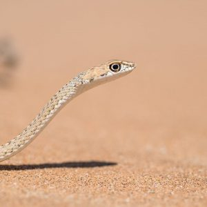 Our Eco Dune Tour (also known as the Living Desert Tour) focuses on the ecology of the dunes. This Sand snake is one of several snake species that can be seen on this desert day tour.