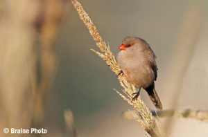 Our Namibia birding tours and desert birding day tours offer many desert specials, such as the Common Waxbill, photographed outside Swakopmund.