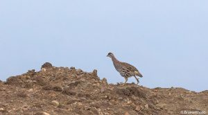 Our Ethiopian birding and photography tours offer an unforgettable experience and a great opportunity to view Ethiopia's magical wildlife, such as Erckel's Francolin