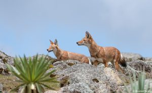 Our Ethiopian birding and photography tours offer an unforgettable experience and a great opportunity to view Ethiopia's magical wildlife, such as these Ethiopian Wolves