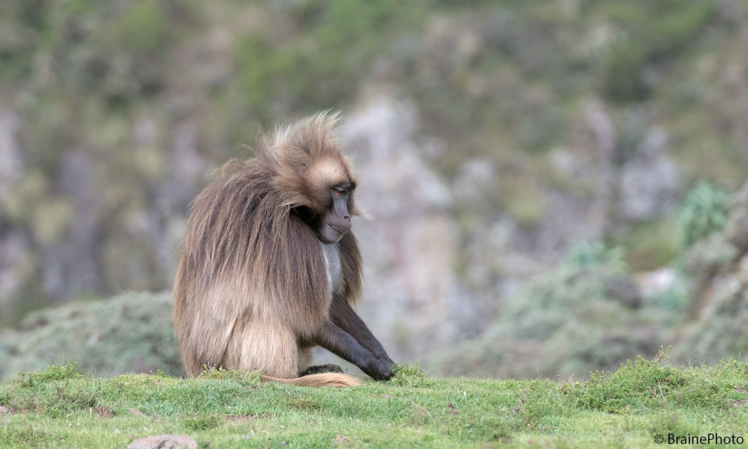 Our Ethiopian birding and photography tours offer an unforgettable experience and a great opportunity to view Ethiopia's magical wildlife, such as this Gelada or Bleeding Heart Monkey