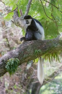 Our Ethiopian birding and photography tours offer an unforgettable experience and a great opportunity to view Ethiopia's magical wildlife, such as this Guereza or Abyssinian black and white Colobus