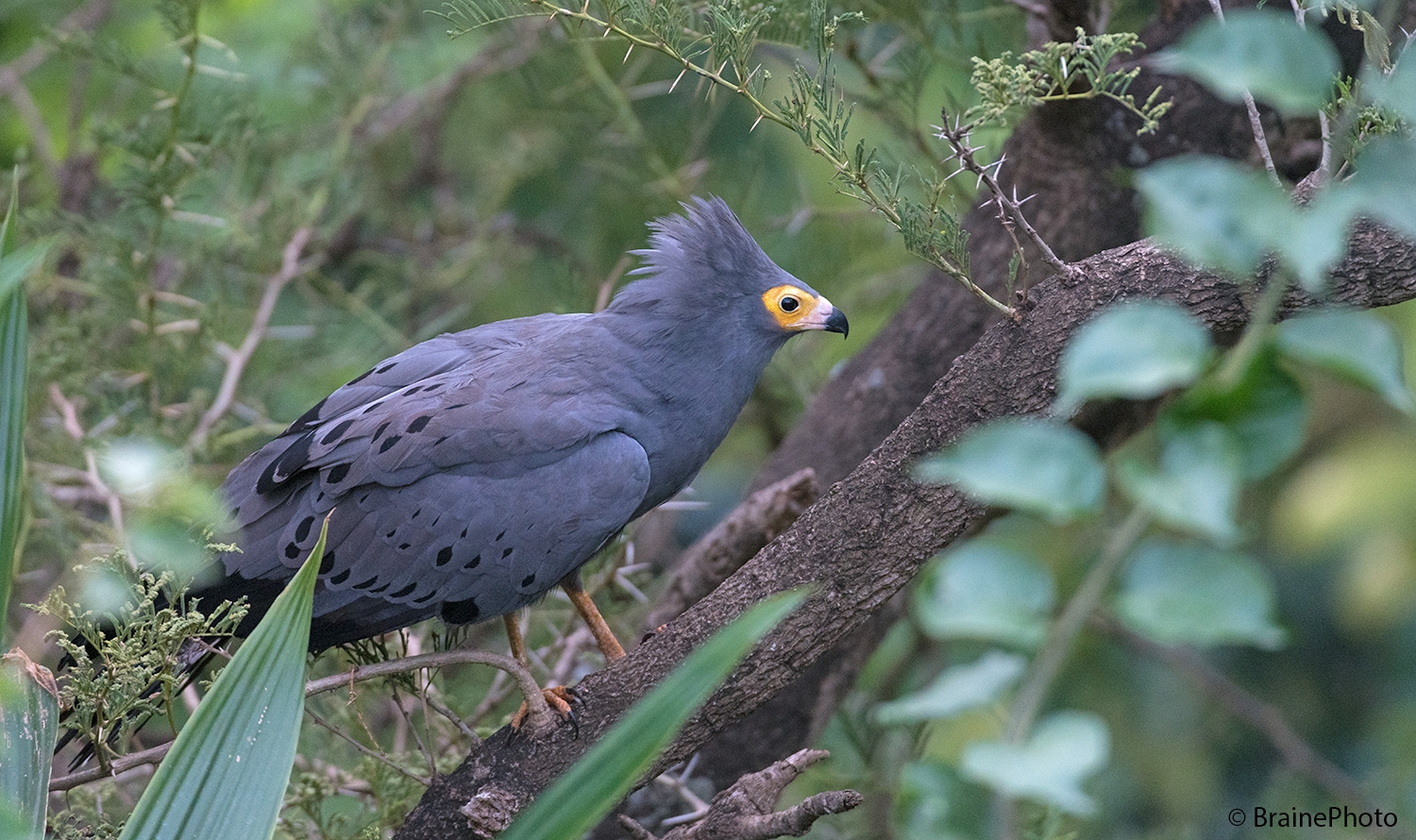 Our Ethiopian birding and photography tours offer an unforgettable experience and a great opportunity to view Ethiopia's magical wildlife, such as the African Harrier Hawk