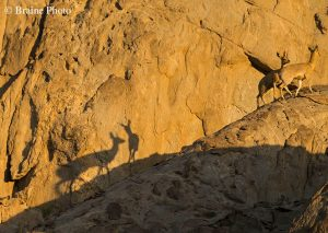 Our Rocky Desert Tour takes you to Namibia's grand Moonlandscape and the Swakop River Valley. The scenery and desert-adapted fauna and flora that occur here will make this an unforgettable experience. A perfect activity for botanists, photographers, birders, herpetologists and general naturalists. The Klipspringer is one of the many highlights on this activity.