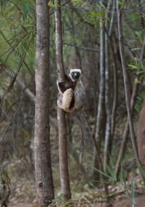 Our Madagascar birding, wildlife and photography tours offer the best experience for the all-round naturalist. We focus on all the natural wonders that this magnificent island has to offer from plants and fungi to reptiles and amphibians to mammals and birds. The lemurs are one of the many highlights on this tour