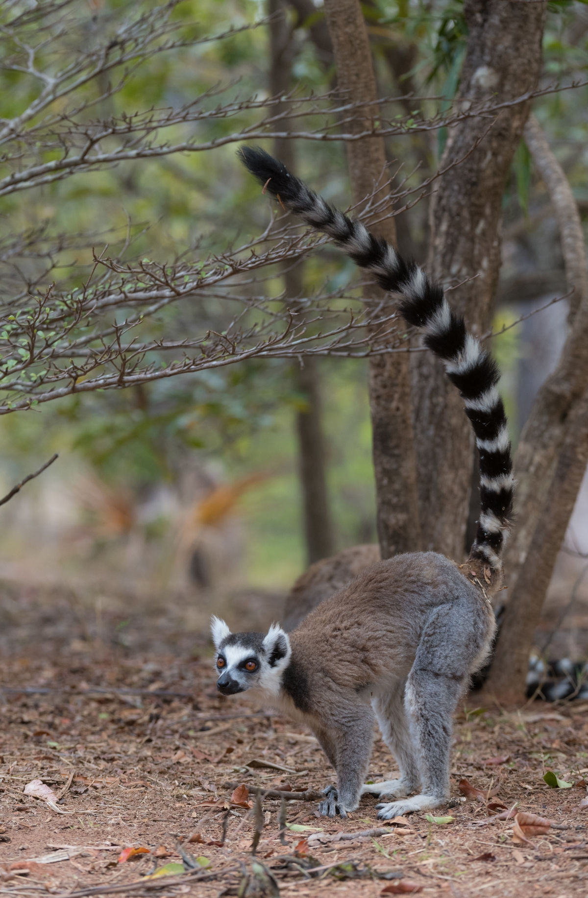 Our Madagascar birding, wildlife and photography tours offer the best experience for the all-round naturalist. We focus on all the natural wonders that this magnificent island has to offer from plants and fungi to reptiles and amphibians to mammals and birds. The Ring-tailed lemurs are one of the many highlights on this tour