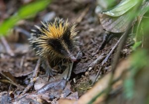 Our Madagascar birding, wildlife and photography tours offer the best experience for the all-round naturalist. We focus on all the natural wonders that this magnificent island has to offer from plants and fungi to reptiles and amphibians to mammals and birds. This Striped Tenrec, photographed at Masoala National Park, is one of the many mammal species that occur on this magical island