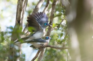 Our Madagascar birding, wildlife and photography tours offer the best experience for the all-round naturalist. We focus on all the natural wonders that this magnificent island has to offer from plants and fungi to reptiles and amphibians to mammals and birds. These Crested Couas, photographed at Ankarafantsika National Park, are one of the many endemic bird species that occur on this magical island
