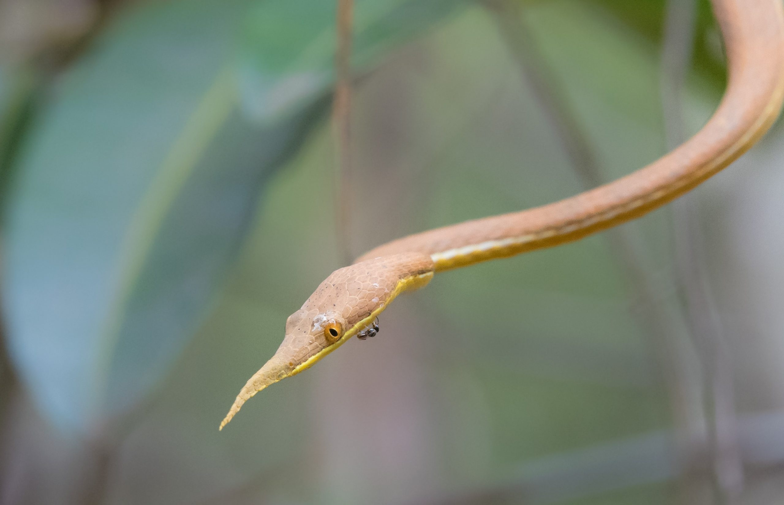 Our Madagascar birding, wildlife and photography tours offer the best experience for the all-round naturalist. We focus on all the natural wonders that this magnificent island has to offer from plants and fungi to reptiles and amphibians to mammals and birds. The Leaf-nosed Snake is one of the thousands of reptiles that occur on this magical island
