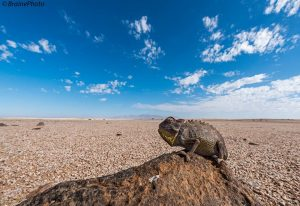 Our day tour to Brandberg offers the chance to see many desert-adapted mammals, reptiles, plants, insects and birds. It also offers wonderful scenery and great photographic opportunities. This Namaqua Chameleon was photographed en-route to the Brandberg