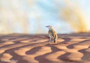 Our Namibia birding tours and desert birding day tours offer many desert specials, such as the endemic Dune Lark photographed in the Kuiseb Delta.