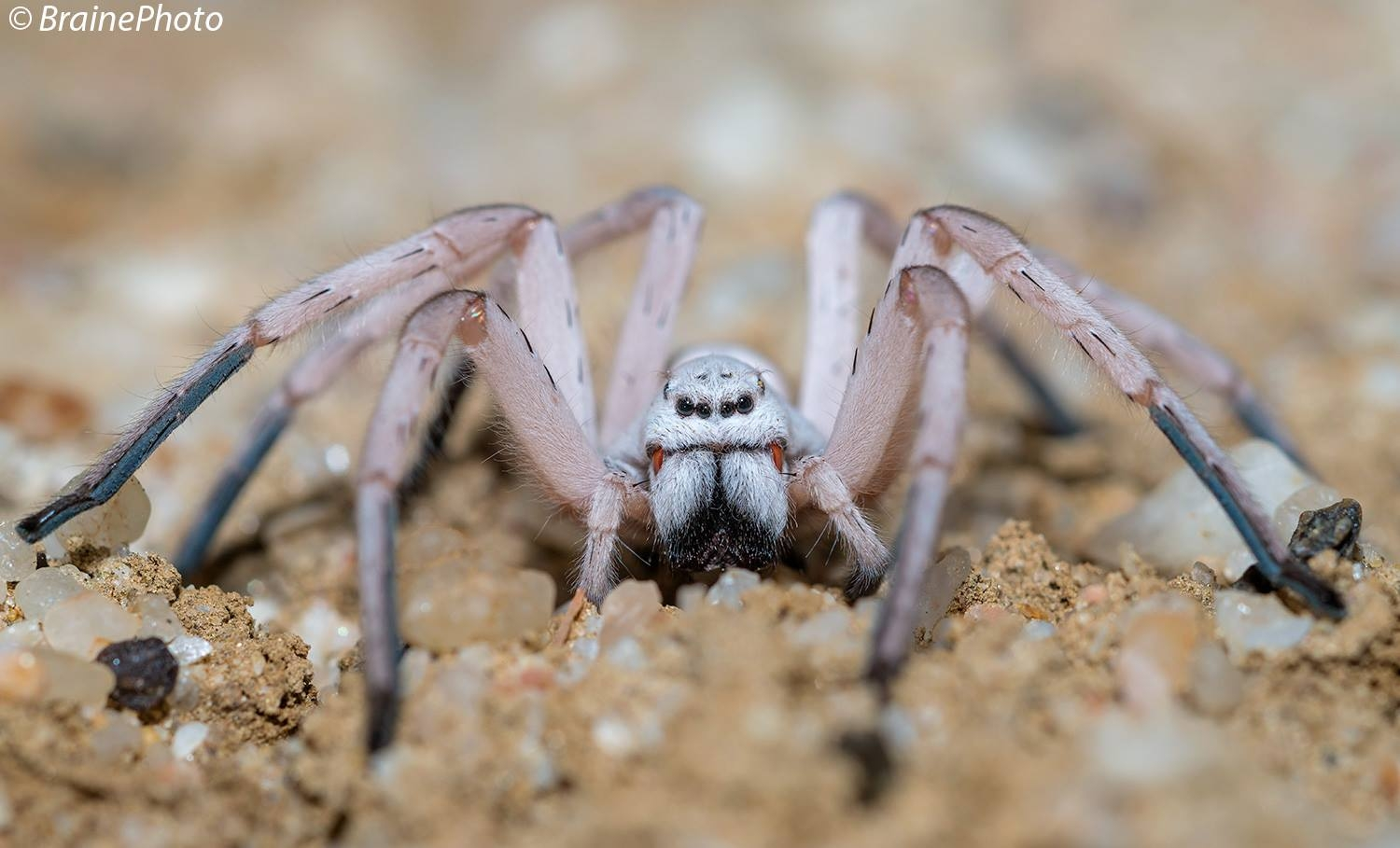 Our Desert Night Walks take you into the gravel plains on Swakopmund's outskirts. Exciting nocturnal animals that we find here include spiders, geckos, scorpions, snakes, gerbils and with great luck a Brown Hyena. This Dancing White Lady Spider is a popular find.