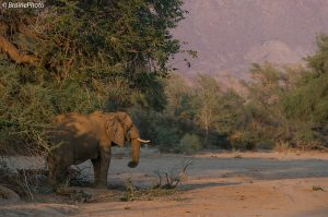 Our day tour to Brandberg offers the chance to see many desert-adapted mammals, reptiles, plants, insects and birds. It also offers wonderful scenery and great photographic opportunities. Sometimes we get lucky and find the desert-adapted elephants.