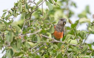 Our Ethiopian birding and photography tours offer an unforgettable experience and a great opportunity to view Ethiopia's magical wildlife, such as the Orange-breasted Parrot
