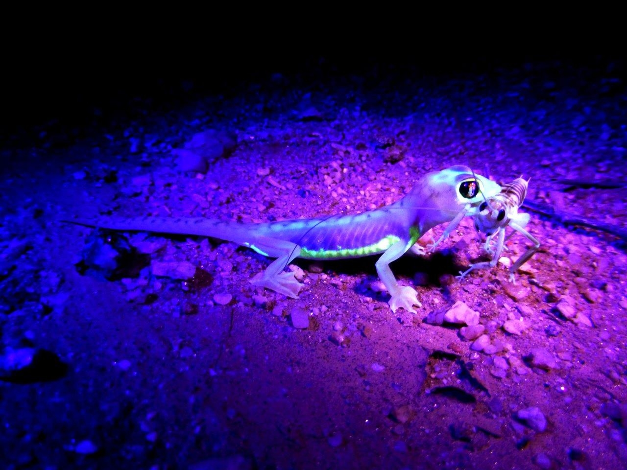 Our Desert Night Walks take you into the gravel plains on Swakopmund's outskirts. Exciting nocturnal animals that we find here include spiders, geckos, scorpions, snakes, gerbils and with great luck a Brown Hyena. This Namib Web-footed Gecko is a popular find.