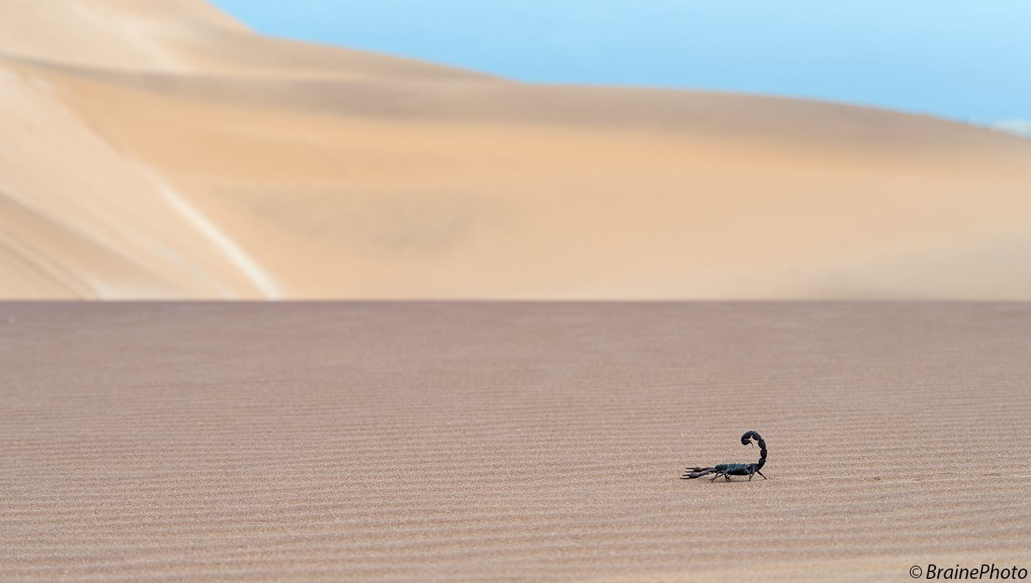 Our Eco Dune Tour (also known as the Living Desert Tour) focuses on the ecology of the dunes. The scorpion (Parabuthus villosis) is one of the main targets on this tour.