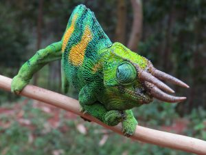 Jackson's (or Rwenzori Three-horned) Chameleon is one of the many reptile species that can be found on our Uganda birding and photography tour.
