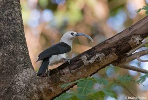 Our Madagascar birding, wildlife and photography tours offer the best experience for the all-round naturalist. We focus on all the natural wonders that this magnificent island has to offer from plants and fungi to reptiles and amphibians to mammals and birds. This Sickle-billed Vanga, photographed at Ankarafantsika National Park, is one of the many endemic bird species that occur on this magical island