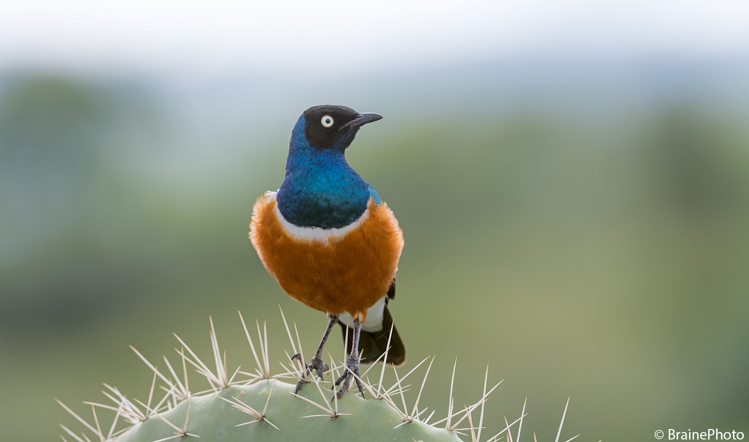 Our Ethiopian Birding Tours offers an unforgettable experience and a great opportunity to view Ethiopia's magical wildlife, such as this Superb Starling