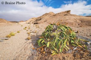 Our Rocky Desert Tour takes you to Namibia's grand Moonlandscape and the Swakop River Valley. The scenery and desert-adapted fauna and flora that occur here will make this an unforgettable experience. A perfect activity for botanists, photographers, birders, herpetologists and general naturalists. The Welwitschia is one of the many highlights on this activity.
