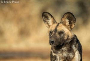 Our photography tours provide opportunities to photograph many exciting subjects including breath-taking sunsets and sunrises, contrasting and wonderful landscapes, Himba, San and Herero cultures, colonial architecture, ghost towns, other-worldly plants and extraordinary wildlife. This wild dog was photographed in the Caprivi