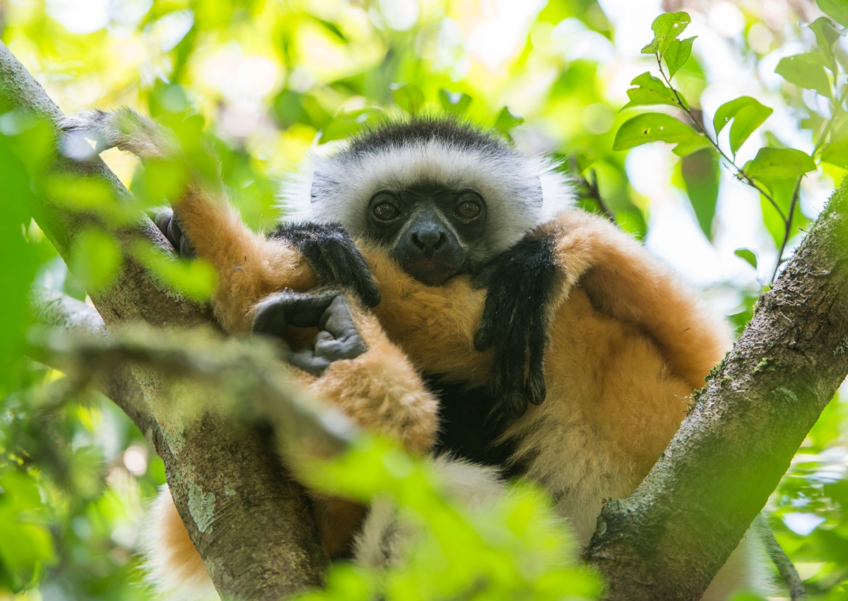 Our Madagascar birding, wildlife and photography tours offer the best experience for the all-round naturalist. We focus on all the natural wonders that this magnificent island has to offer from plants and fungi to reptiles and amphibians to mammals and birds. The Diademed Sifakas are one of the many highlights on this tour