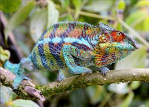 Our Madagascar birding, wildlife and photography tours offer the best experience for the all-round naturalist. We focus on all the natural wonders that this magnificent island has to offer from plants and fungi to reptiles and amphibians to mammals and birds. The colourful Panther Chameleon is one of the thousands of reptiles that occur on this magical island.