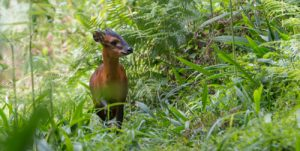 The Rwenzori Red Duiker is one of the many mammals that can be found on our Uganda birding and photography tour.