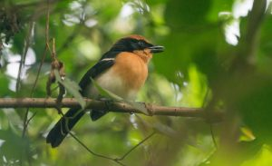 The Lühder's Bush-shrike, photographed at Buhoma, Bwindi, is one of the many bird species that can be found on our Uganda birding and photography tour.