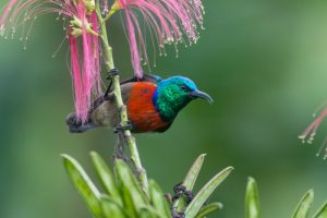 The Rwenzori Double-collared Sunbird, photographed at Buhoma in Bwindi, is one of the many bird species that can be found on our Uganda birding and photography tour.
