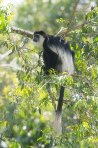 The Mantled Guereza is one of the many primates that can be found on our Uganda birding and photography tour.