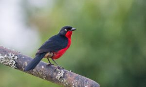 The Black-headed Gonolek is one of the many bird species that can be found on our Uganda birding and photography tour.