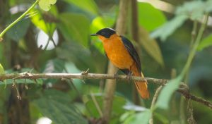 The Snowy-crowned Robin-Chat is one of the many bird species that can be found on our Uganda birding and photography tour.