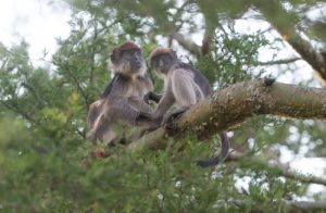 The Red Colobus is one of the many primates that can be found on our Uganda birding and photography tour.