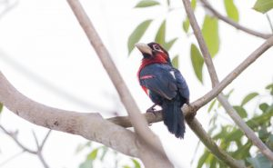 This Double-toothed Barbet, photographed in Entebbe, is one of the many bird species that can be found on our Uganda birding and photography tour.