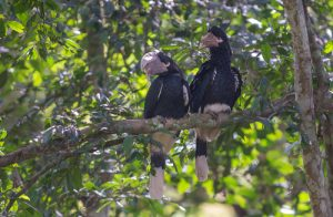 The White-thighed Hornbill is one of the many bird species that can be found on our Uganda birding and photography tour. This pair was photographed at the Royal Mile in the Budongo Forest