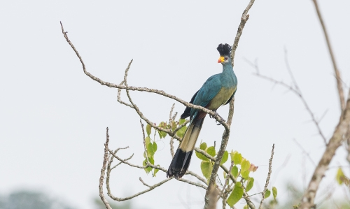 The Great Blue Turaco is one of the many bird species that can be found on our Uganda birding and photography tour.